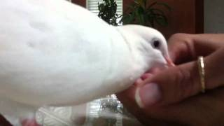 Bird-White Dove eating bread with silly noises