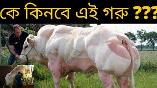 bangladesh qurbanir goru hat 2018 .bodybuilder cow belgian blue[Unknown Mystery Bangla]