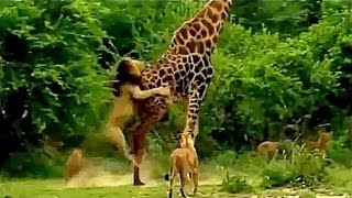 Lions VS Giraffe Fight to the death