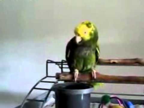 aglayan papağan