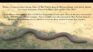 15 feet Snake roaming around 500 years old Jain temples found by Muni Shri Pawan Sagar Ji Maharaj