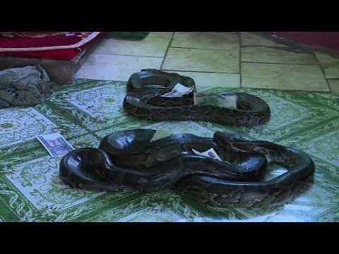 Xxx Mp4 Myanmar Buddhist Temple Now A Nirvana For Snakes 3gp Sex