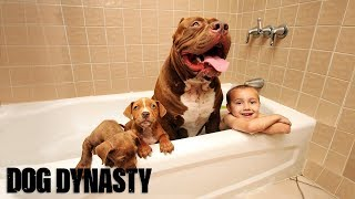Download Giant Pit Bull Hulk's $500,000 Puppy Litter | DOG DYNASTY