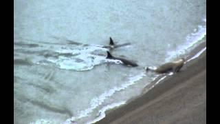 Orques – Punta Ninfas - Attaques