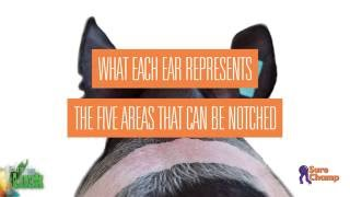 Show Pig: How To Read Ear Notches