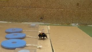 Bumblebees learned to pull strings for reward