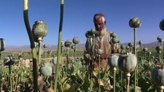 Afghans revel in bountiful opium harvest