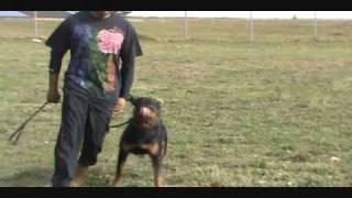 Rottweiler Training