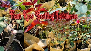 How to Rose Grafting? New Techniques 2017.