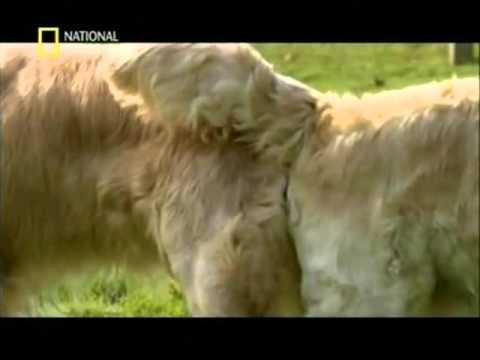 Lenguaje Canino cortejo de apareamiento