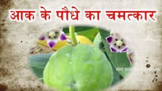 आक के पौधे का चमत्कार    गंजे बालो बाल लाने का ईलाज आक का पत्ता     DR KK