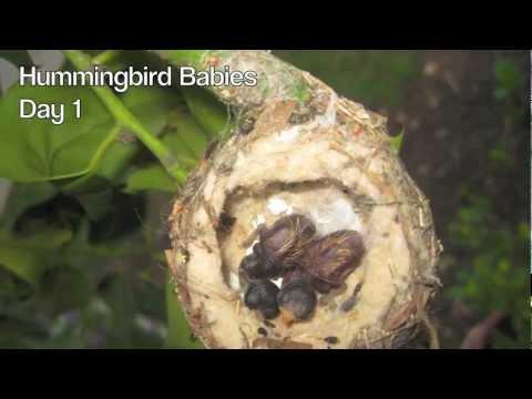 Hummingbird Babies Birth to Fledging the Nest First Flight Amazing