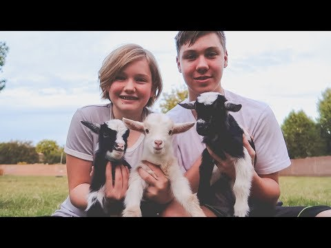 They're so FLUFFY! (meet the cutest triplet baby goats)