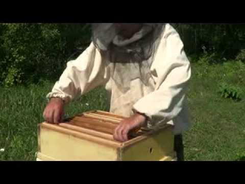 видео ловли роев ульями