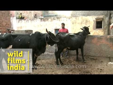 Bull has a rendezvous with a cow of veterinary interest