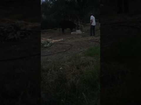 Me fucking up a cow!!!