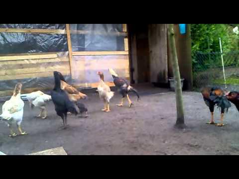 O Shamo Hühner