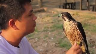 Best Training Eagles to Hunt from Asia - How to have an eagle pet?