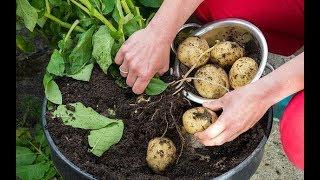 How To Grow Potatoes In Pot - آموزش کاشت سیب زمینی در گلدان و باغچه