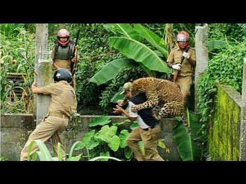 Xxx Mp4 Caught On Camera Leopard Attacks Forest Guard 3gp Sex