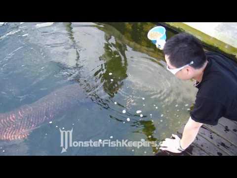 Feeding Arapaima Gigas Max Koi Farm MonsterFishKeepers HD Quality Part 2 2