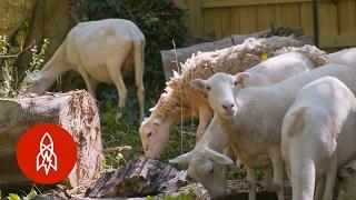 Sheep and the City: Nashville's Urban Shepherd