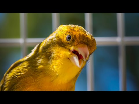 BEST CANARY SINGING LIVE CANTO CANARIO SERINUS CANARIA