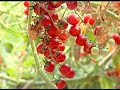 If you want to 01711313964 cultivate cherries tomato, contact Kamruzzaman Sir for help চেরি টমেটো চা