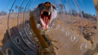 Meerkats can Solve Complex Tasks to Eat Scorpions  | BBC Earth