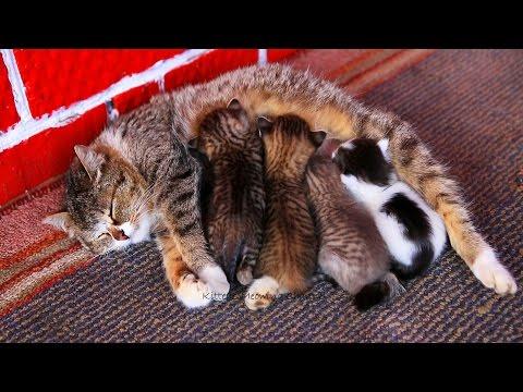 Mom cat feeding five cute meowing kittens