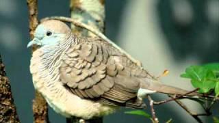 MERBOK SIAM (COMPETITION WINNER!!) **BIRD SONG**