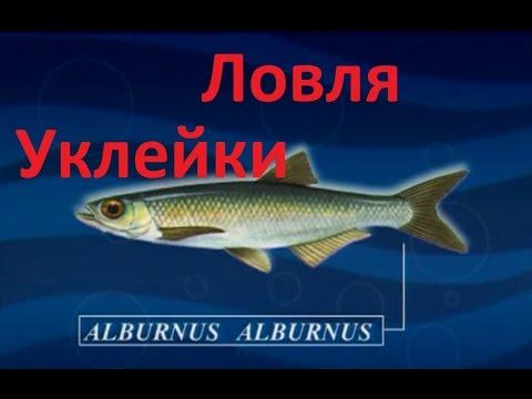 верховодка рыба как ловить