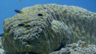 Seeking shelter up a sea cucumber's bottom - World's Weirdest Events: Episode 5 - BBC Two