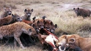 ► National Geographic Documentary - Hyenas, Queen of Carrion - | HD
