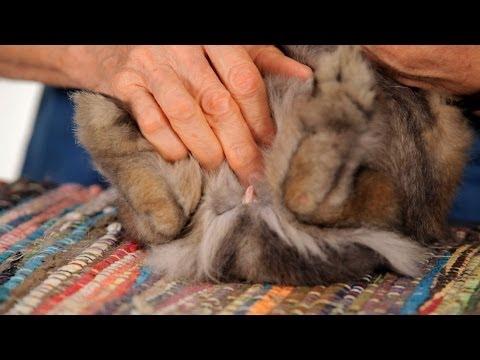 How to Determine a Rabbit's Sex | Pet Rabbits