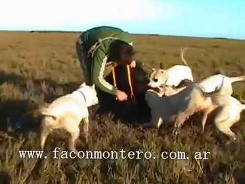 Colección Monteria Criolla con Dogos Argenos