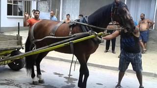 Говедарските коне