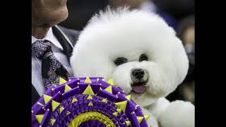 Breaking News: Westminster Dog Show 2018 winner pictures Bichon Frise WINS Best in Show