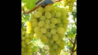 Столовый сорт винограда Плевен с ранним сроком созревания