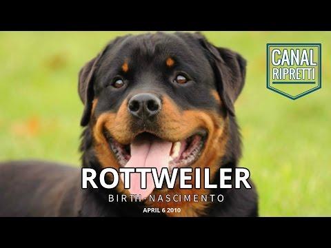 Nascimento de um Rottweiler Tara
