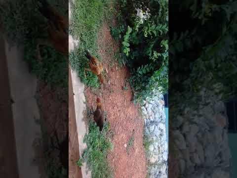 Ayam hutan vs ayam sabung