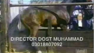 PASHTO  NEW FUNNY VIDEO  WASE  THE NEMESHPE  KABARBAMA  WOWRIE