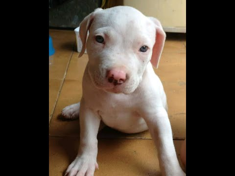 Pit Bull Filhote Albino