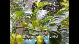 Bombai Morich: Hot chili / pepper Barisal ( বরিশালের বোম্বাই মরিচ |Bangladesh