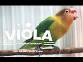 Brandywatch : Kisah Sedih Lovebird Viola Terlantar Di Bandara Akhirnya Konslet Lagi !