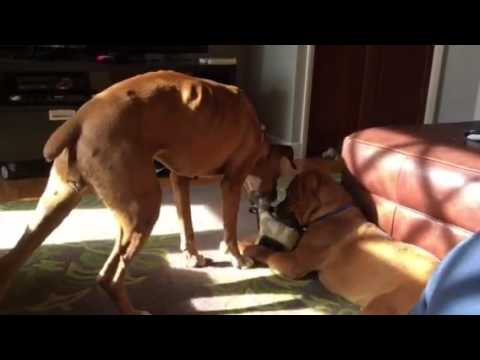 Harry 2 05 17 17 NorCal Boxer Rescue