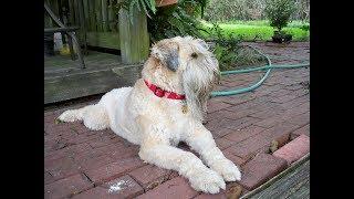 Irish Soft Coated Wheaten Terrier / Dog Breed