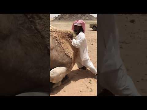 Xxx Mp4 Arabic Man Help Camel 🐫 To Have Sex 3gp Sex