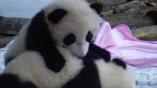 تعلم طريقة استيقاظ الباندا المتظاهرة بالنوم|CCTV Arabic