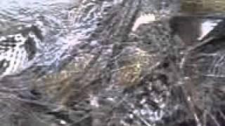 snake in trap  from kerala kuttanad.3GP